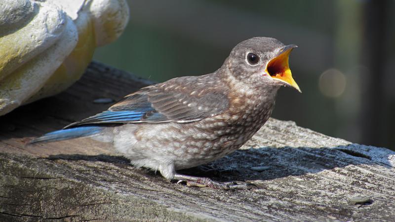 sx30_bluebird_fledgling_196.jpg
