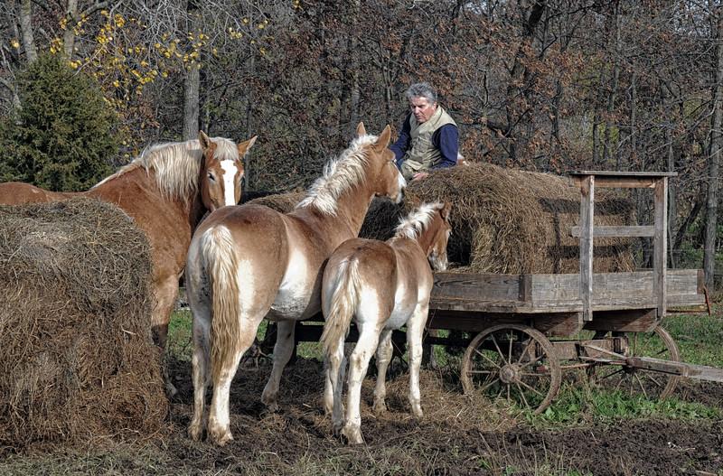 05 FEEDING AMISH OWNED HORSES .jpg
