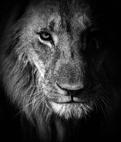 Lion portrait, Moremi Game Reserve
