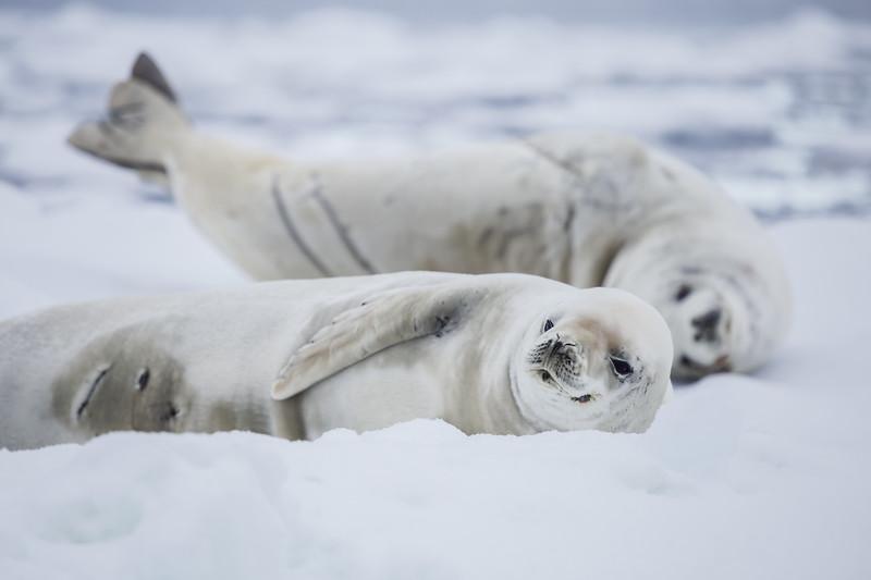 Antarctica facts - Crabeater Seal