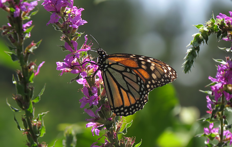 sx50_monarch_butterfly_flora_110.jpg