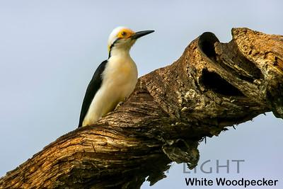 White Woodpecker, Pantanal, Brazil
