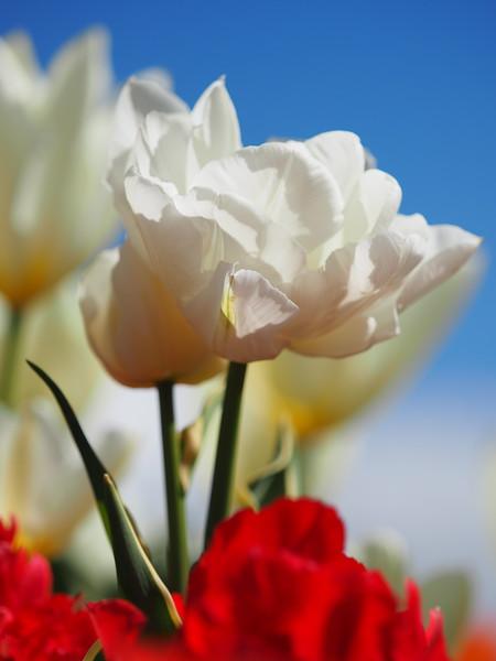 Tulips 02.jpg