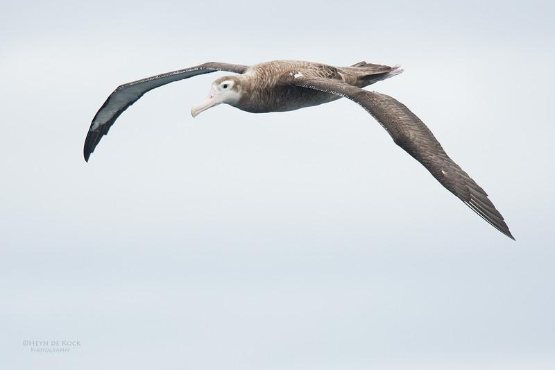 Wandering Albatross, Eaglehawk Neck Pelagic, TAS, Sept 2016-2.jpg