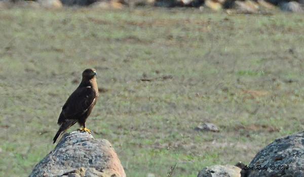 Hawk Rangeland Road - identified as a dark morph Ferruginous Hawk