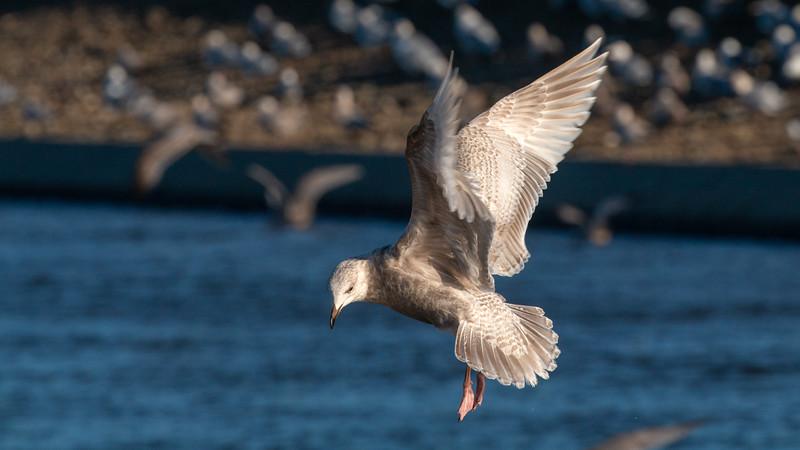 Kumlein's Iceland Gull