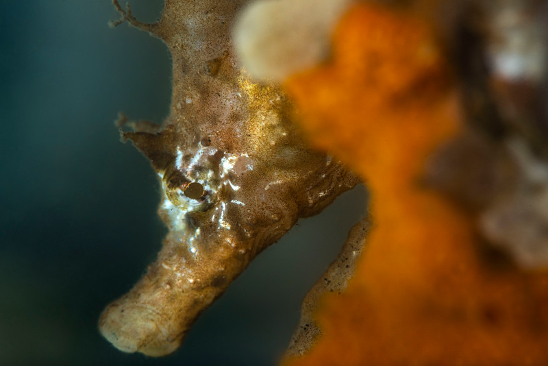 Short-snouted seahorses are a common sight in Dutch waters these days. And how #cute they are!#underwaterphotography  #uwphotography #scuba #underwater #duiken #marinelife #diving #Nikon #macro #Duikspotter #traveltips #onderwatersport   #underwaterphotographer