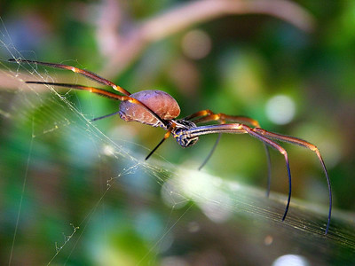 family Nephilidae - Golden Orb-weavers