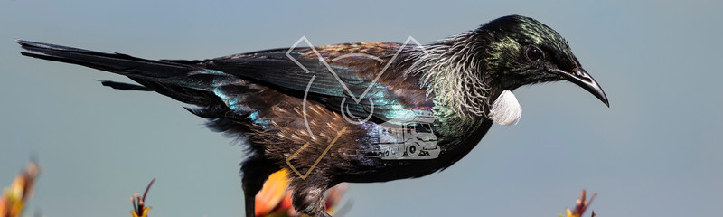 A panorama portrait of a colorful New Zealand Tui bird