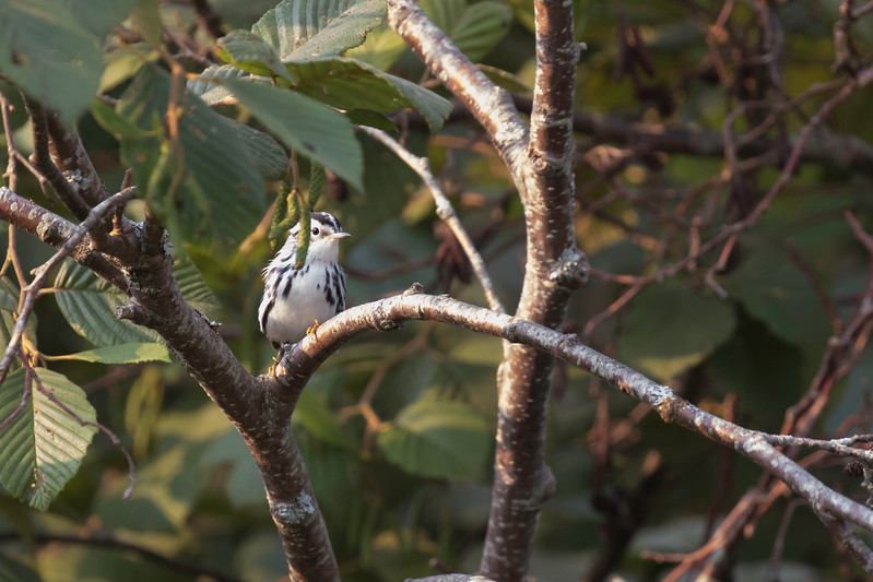 Black and white warbler, Sears Island, September 5, 2017
