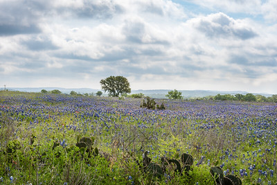Rolling hills of wild bluebonnets and cactus clusters