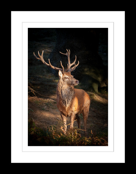A twelve point stag