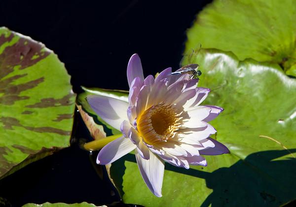 Lillies @ MO Botanical Garden