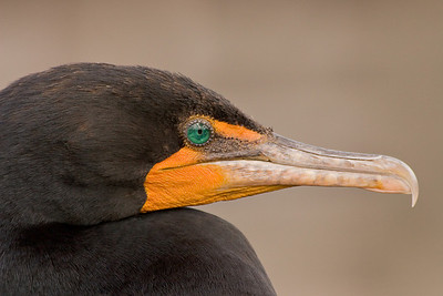 Double Creasted Cormorant, Wakodahatchee Wetlands