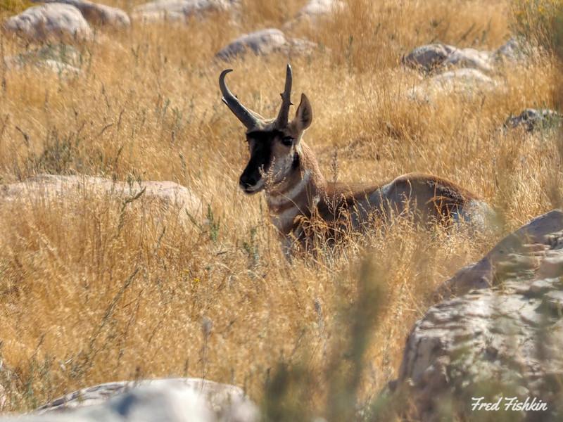Prong Horn Antelope.jpg