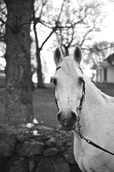 The white horse / Häst