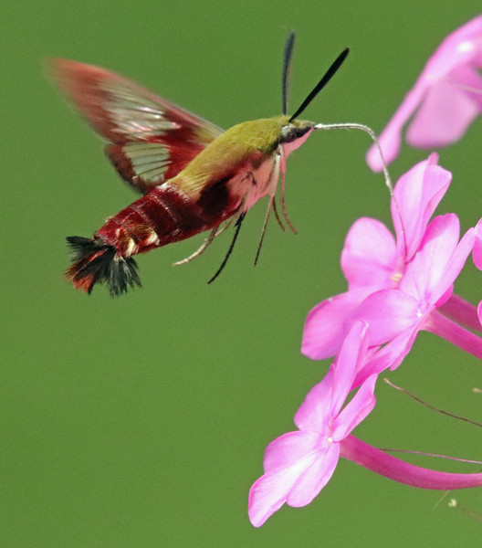 Hummingbird moth 41