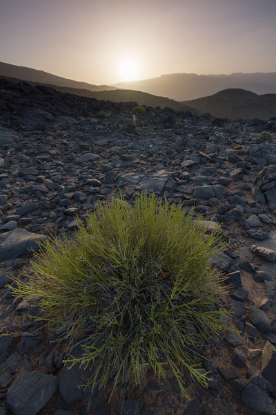 Shrub growing on rocky land in national park - Oman