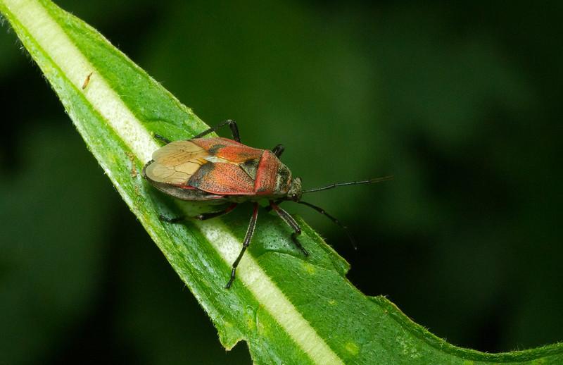 A true bug (Heteroptera: Pentatomomorpha) from Costa Rica.