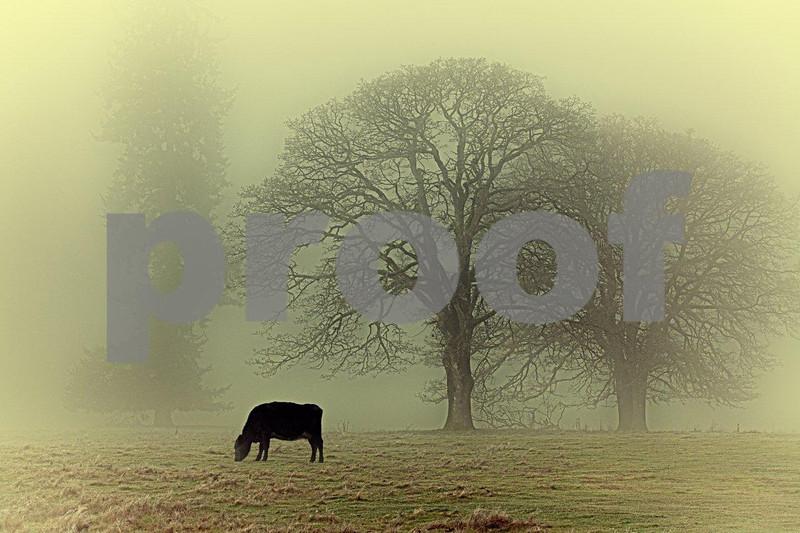 Oaks & cow 4243_HDR.jpg