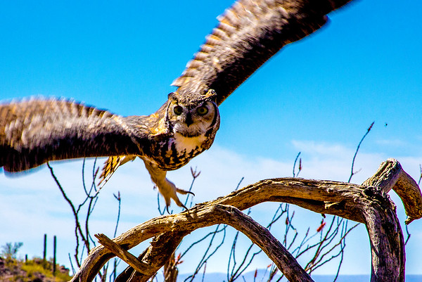 Desert Museum Raptors