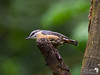 Another view of the Nuthatch