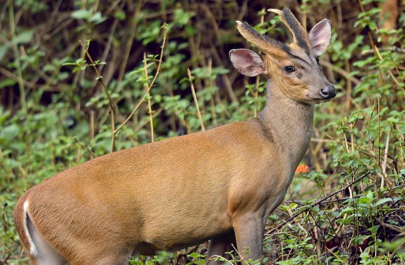 Barking-Deer.jpg
