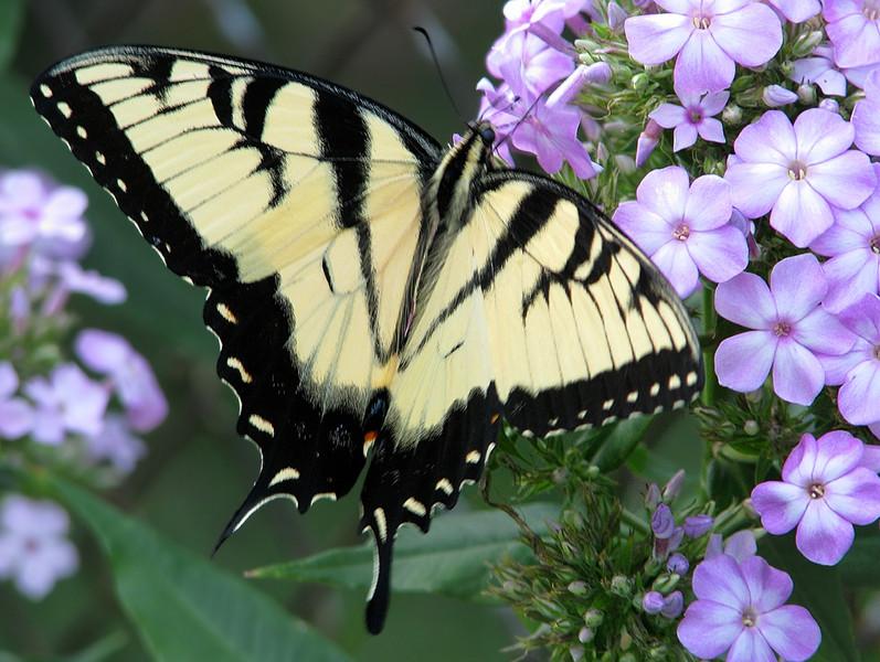 swallowtail_butterfly_1147.jpg