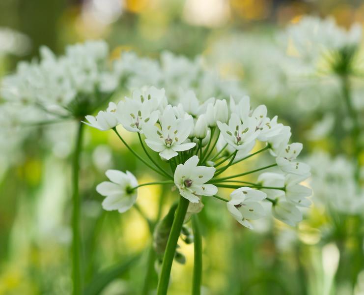 Allium Neapolitanum 04
