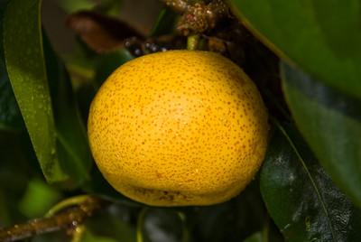 Shinseiki Pear (New Century Pear) - Pyrus pyrifolia sp.
