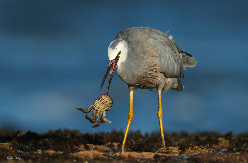 White-faced Heron with crab 2 MASTER.jpg