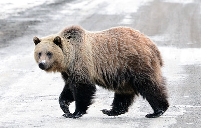 Grizzly Bears - Part I