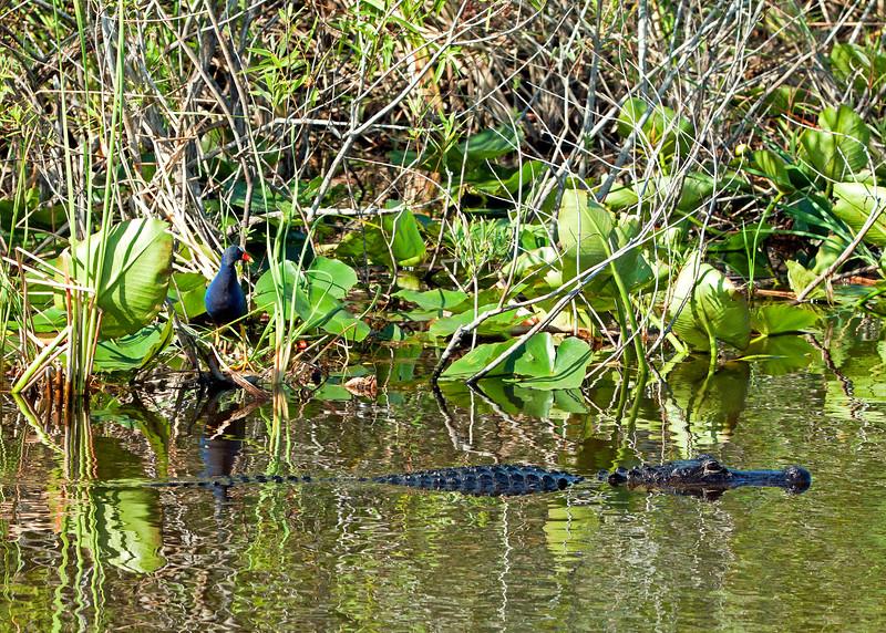 bIMG_5005 Gallinule & alligator crp +grn+yell.jpg