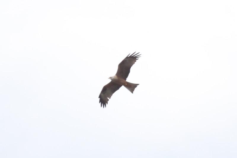 Black kite, Brun glada