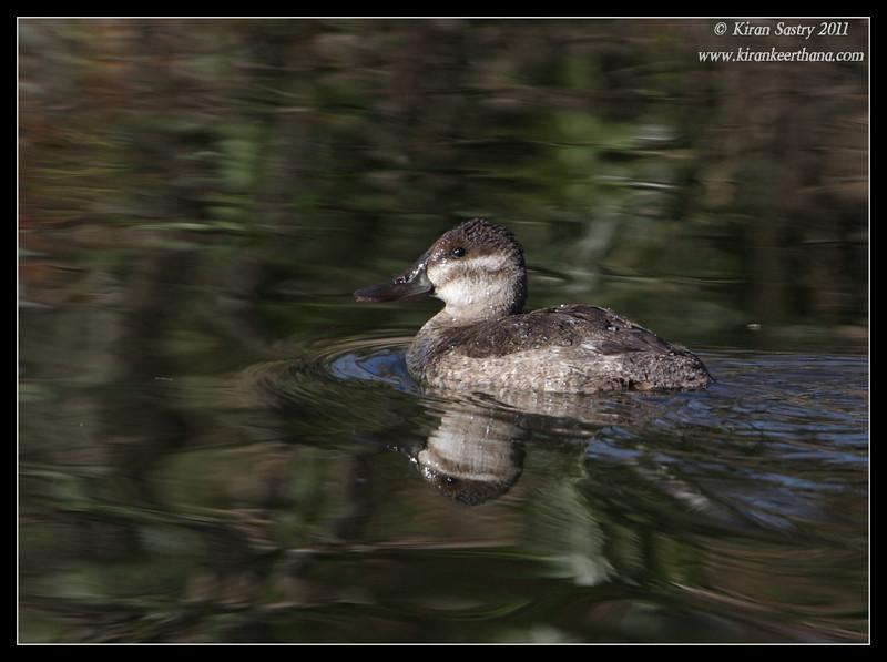 Ruddy duck, Santee Lakes, San Diego County, California, December 2011