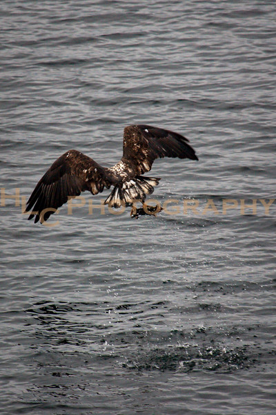 11/21/18 Bald Eagles at Higgens Point, Lake Coeur D'Alene, Idaho