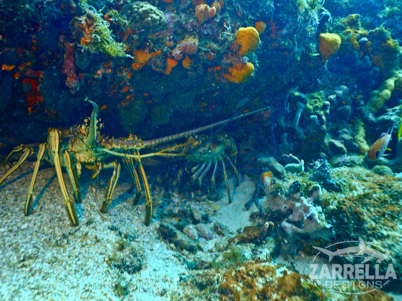 """Spiny Lobsters"" (Proselyte Wreck, St. Maarten)"