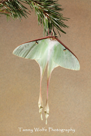 Moth, Chinese Luna