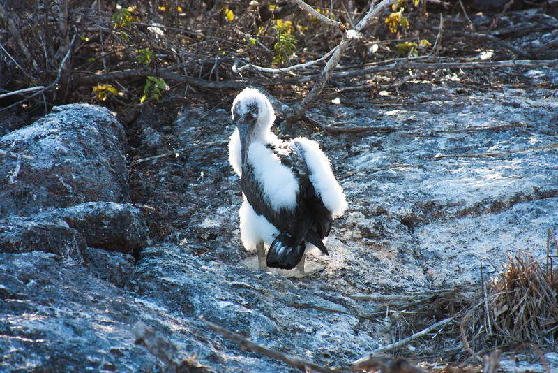 adolescent Bird Pruning : Journey into Genovesa Island in the Galapagos Archipelago