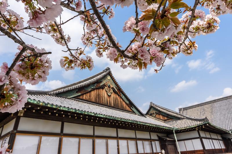 Cherry blossoms over Nijo-jo || Kyoto