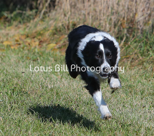 Black Bi 3 Border Collie