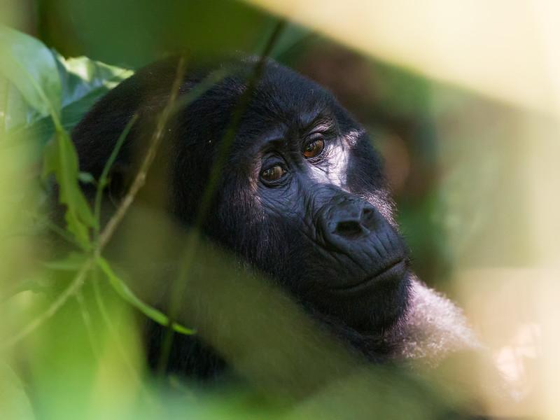 soulful expression in gorilla.jpg