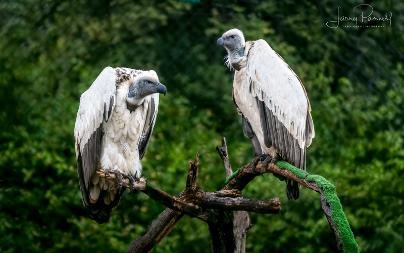 African White Backed Vultures