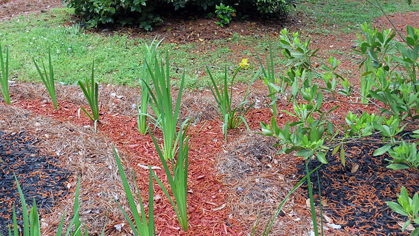 April 24 - May 6 :  Tracking the iris blooms .  .  .