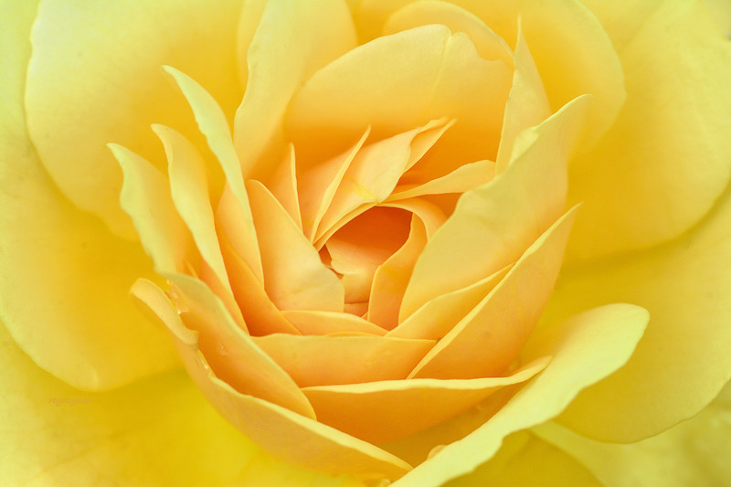 Yellow Rose Unfurling
