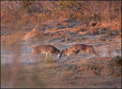 Whitetail Deer Battle