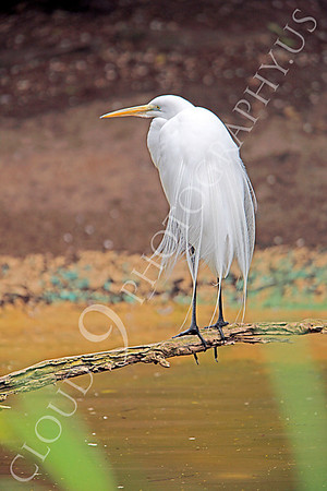 Capped Heron Wildlife Photography