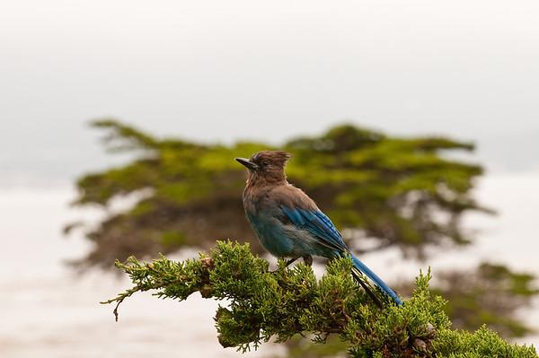 Condor-Jay
