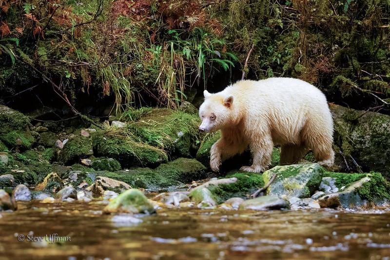 20150930-_Q2C5238Spirit-Bears-British-Columbia-Edit - Copy.jpg