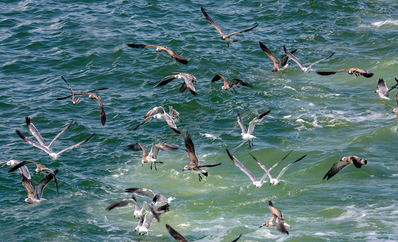Flocks of gulls chase our ferry boat.